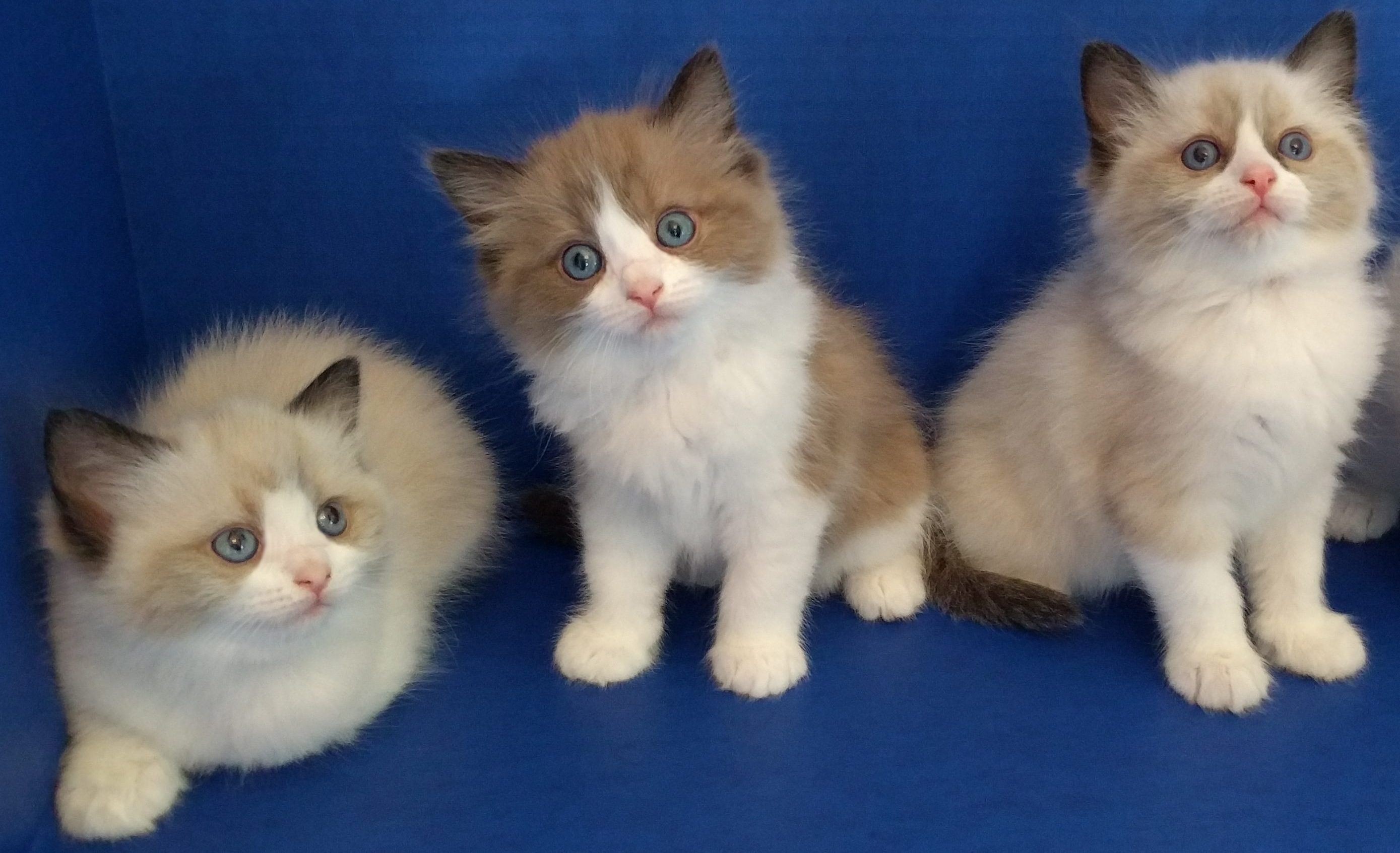 Purebred Ragdoll Kittens and Cats Pasco Washington